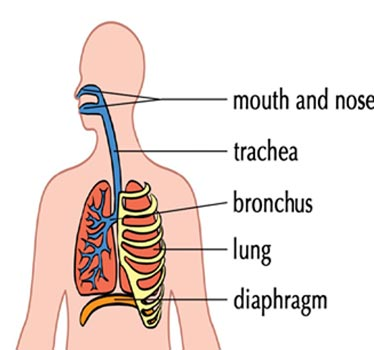 most interesting facts about the respiratory system, Human Body